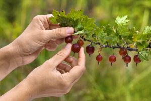 gooseberry-ribes-uva-crispa-harvesting