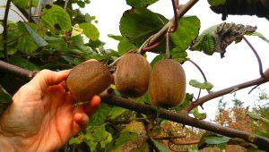 kiwi actinidia deliciosa - harvesting