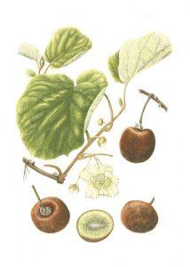 kiwi actinidia deliciosa - kiwi plant