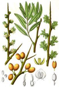 sea buckthorn hippophae rhamnoides - plant details