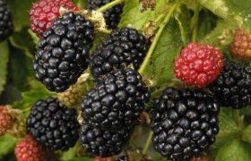 blackberry rubus fruticosus