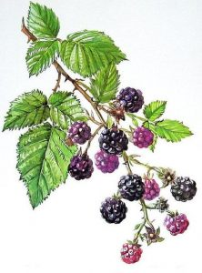 blackberry rubus fruticosus - blackberry plant