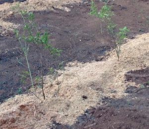 blackberry rubus fruticosus - mulching
