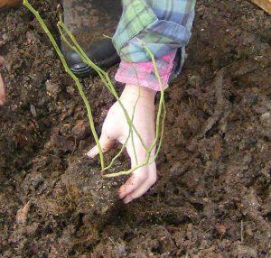 blackberry rubus fruticosus - planting