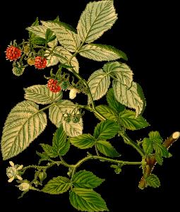 raspberry rubus idaeus - raspberry plant