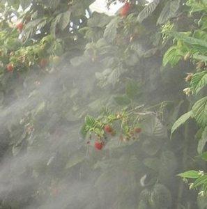 raspberry rubus idaeus - treating the plant