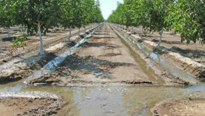 apricot tree prunus armeniaca - apricot irrigation