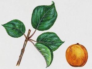 apricot tree prunus armeniaca - apricot tree