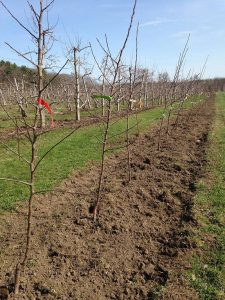 apricot tree prunus armeniaca - planting the apricot trees