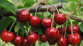 cherry tree prunus avium