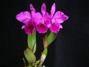 orchid orchid - cattleya 1