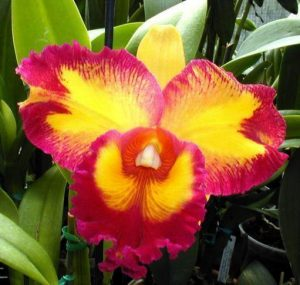 orchid orchid - cattleya 2