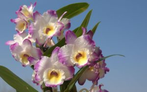orchid orchid - cattleya 4