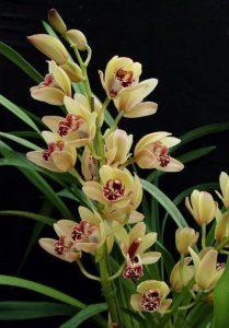 orchid orchid - cymbidium 1