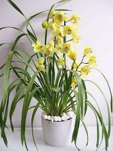 orchid orchid - cymbidium 2
