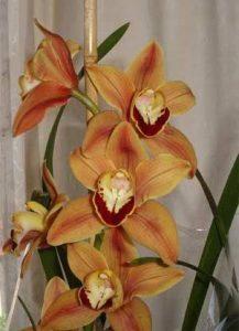orchid orchid - cymbidium 4