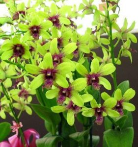 orchid orchid - dendrobium 2