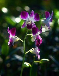 orchid orchid - dendrobium 3