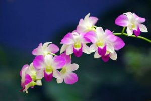 orchid orchid - dendrobium 4