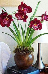 orchid orchid - miltonia 2