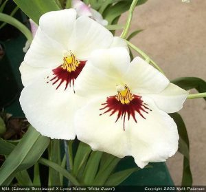 orchid orchid - miltonia 3