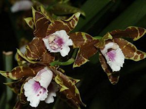 orchid orchid - miltonia 4