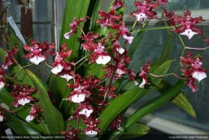 orchid orchid - oncidium 1