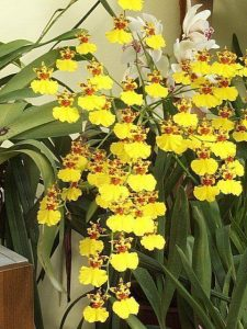 orchid orchid - oncidium 2