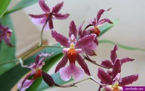 orchid orchid - oncidium 3
