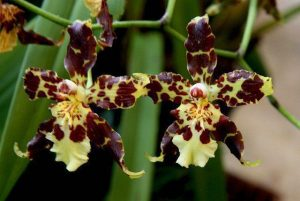 orchid orchid - oncidium 4