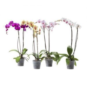 orchid orchid - phalaenopsis 1