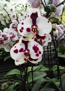 orchid orchid - phalaenopsis 2