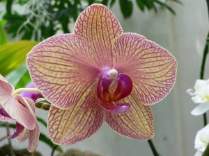 orchid orchid - phalaenopsis 3