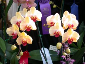 orchid orchid - phalaenopsis 4