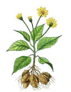 Jerusalem artichoke helianthus tuberosum - jerusalem artichoke plant