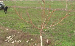 peach tree prunus persica - cut peach tree