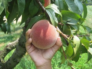 peach tree prunus persica - harvesting