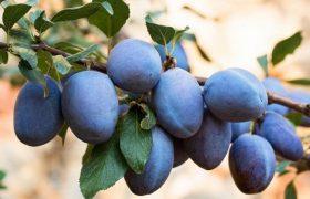 plum tree prunus domestica