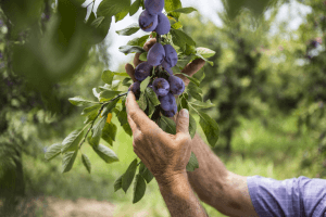 plum tree prunus domestica - harvesting