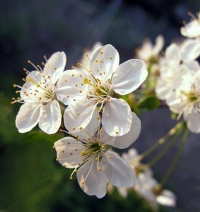 plum tree prunus domestica - plum tree flowers