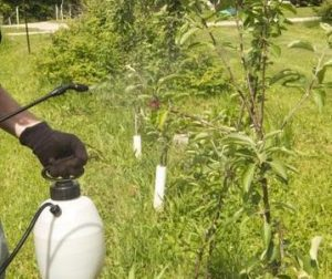 plum tree prunus domestica - plum tree treatments