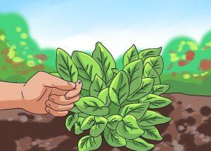 sorrel rumex acetosa - harvesting