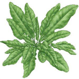 sorrel rumex acetosa - sorrel plant