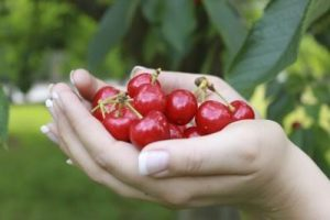 sour cherry prunus cerasus - harvesting