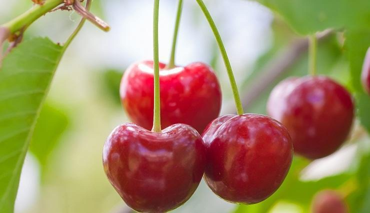 sour cherry prunus cerasus