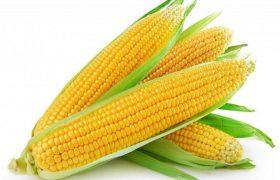 sweet corn zea mays saccharata