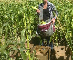 sweet corn zea mays saccharata - harvesting