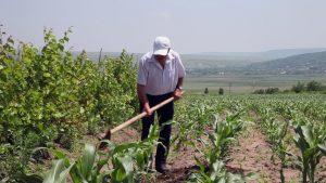 sweet corn zea mays saccharata - ploughing