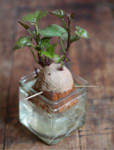 sweet potato ipomoea batatas - obtaining the sweet potato planting material