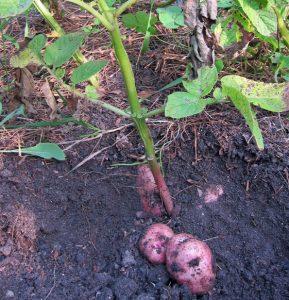 vitelotte solanum tuberosum vitelotte - harvesting